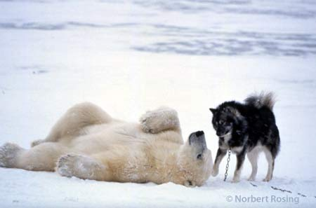 Polarbearhuskyplay